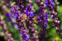 Bienen-Duo Makrofotografie Andy Ilmberger