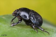 Käfer Makrofotografie Andy Ilmberger