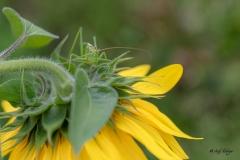 Grashüpfer auf Sonnenblume Andy Ilmberger