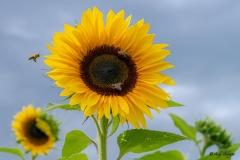 Bienen und Sonnenblumen Andy Ilmberger