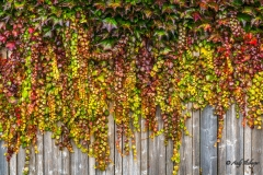 Efeu im Herbst - Andy Ilmberger