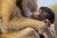 Gibraltar Affenbaby mit Mutter - Andy Ilmberger
