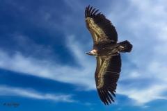 Weißkopfadler im Flug - Andy Ilmberger