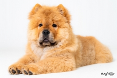 Chow-Chow Marla - Andy Ilmberger