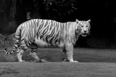 Weißer Tiger - Andy Ilmberger
