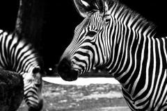Zebra - Andy Ilmberger