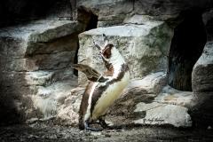 Schreiender Pinguin - Andy Ilmberger