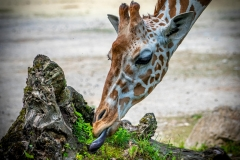Giraffe - Andy Ilmberger